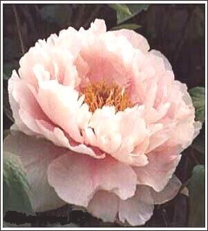 Peony Variety  Guan Yin Mian (Goddess of Mercy's Countenance)