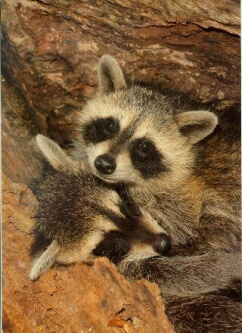 Raccoons - Clever and Adaptable!