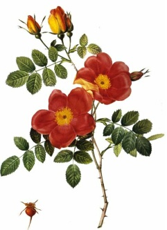 Austrian Copper Roses (Rosa Foetida Bicolor) by artist Redoute